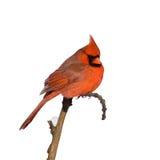 ый cardinal ветви Стоковые Фотографии RF