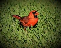 ый cardinal Стоковое фото RF