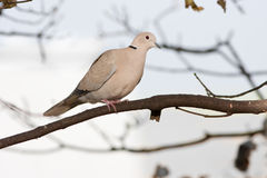ый dove collared ветвью стоковая фотография