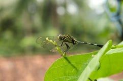 Ый Dragonfly Стоковая Фотография RF