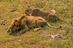 2 льва есть мясо Стоковое Изображение