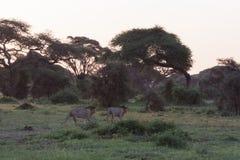 2 льва и 2 брать идут поохотиться Amboseli, Кения Стоковое фото RF