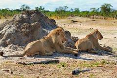 2 льва отдыхая после сопрягать Стоковое Изображение