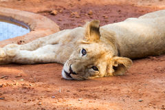 львев новичка милый Стоковое Изображение RF