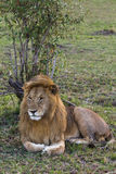 львев Огромный король зверей masai mara Стоковая Фотография