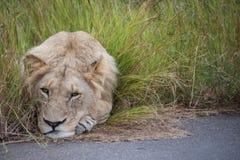 львев сонный Стоковые Фотографии RF