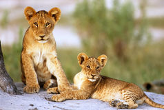 львев Стоковые Фото