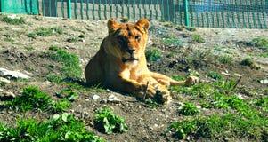 львев Стоковое Изображение