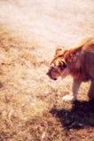 львица смотря предпосылку Стоковые Изображения RF