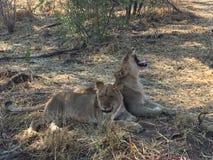 львы 2 детеныша Стоковые Изображения RF