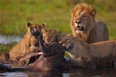 львы Стоковая Фотография RF