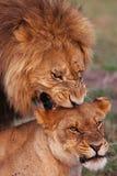 львы Стоковое Изображение RF