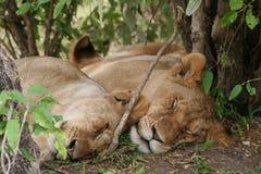 львы Стоковая Фотография