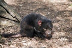 дьявол tasmanian Стоковые Фотографии RF