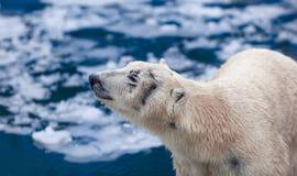 льдед floe медведя приполюсный Стоковое Изображение