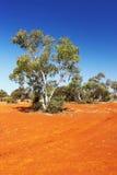 Эвкалипт растя в австралийском захолустье Стоковое фото RF