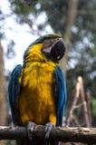 Эквадорский попугай на ветви Стоковое Изображение RF