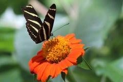 Экзотическая бабочка на оранжевом цветке Стоковые Изображения RF