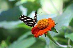 Экзотическая бабочка на оранжевом цветке Стоковое фото RF