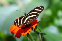 Экзотическая бабочка на оранжевом цветке Стоковые Изображения
