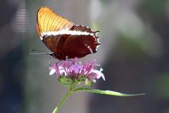 Экзотическая бабочка на розовом цветке Стоковые Изображения RF