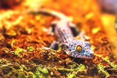 Экзотическая животная tokay ящерица гекконовых Стоковое Изображение