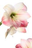 экзотическая лилия цветка Стоковая Фотография