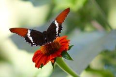 Экзотическая оранжевая бабочка на оранжевом цветке Стоковое фото RF
