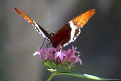 Экзотическая оранжевая бабочка на розовом цветке Стоковая Фотография