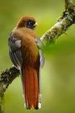 Экзотическая птица от леса горы тропового в эквадоре Птица замаскированного personatus Trogon, Trogon, красных и коричневых в сре Стоковая Фотография RF