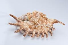 экзотическая раковина Стоковые Изображения