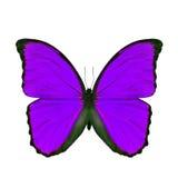 Экзотическая фиолетовая бабочка изолированная на белой предпосылке Стоковое Изображение RF