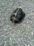 Экзотическая черепаха идя на дорогу стоковое изображение