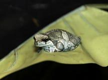 Экзотическая лягушка сидя compfortably на больших желтых лист Стоковые Изображения RF