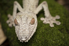 Экзотические белые гекконовые Стоковые Фотографии RF