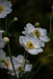 Экзотические белые цветки с бутонами 3 Стоковая Фотография