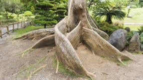 Экзотические корни дерева Стоковая Фотография RF