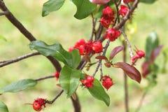 Экзотические красные ягоды Стоковое Фото