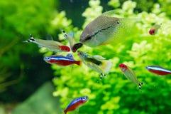 Экзотические рыбы в пресноводном аквариуме Стоковые Изображения RF
