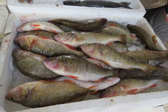 Экзотические рыбы от Адриатического моря Стоковые Изображения RF