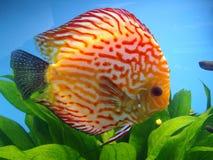 экзотические рыбы Стоковые Фотографии RF