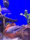 экзотические рыбы Стоковое Фото