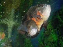 Экзотические рыбы Astronotus стоковые фото