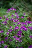 Экзотические фиолетовые цветки кустарника Стоковое Изображение