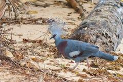 Экзотический голубой голубь на пляже Стоковая Фотография