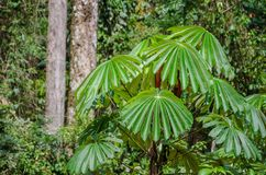 Экзотический завод при сочная зеленая листва растя в дождевом лесе Нигерии, Африки Стоковые Изображения RF