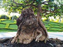 Экзотический корень дерева бонзаев стоковая фотография