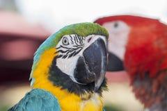 Экзотический красочный попугай ары Стоковое фото RF