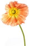 экзотический мак цветка Стоковое фото RF