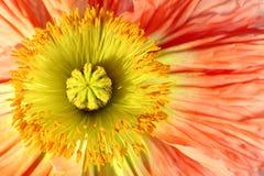 экзотический мак цветка Стоковые Фотографии RF